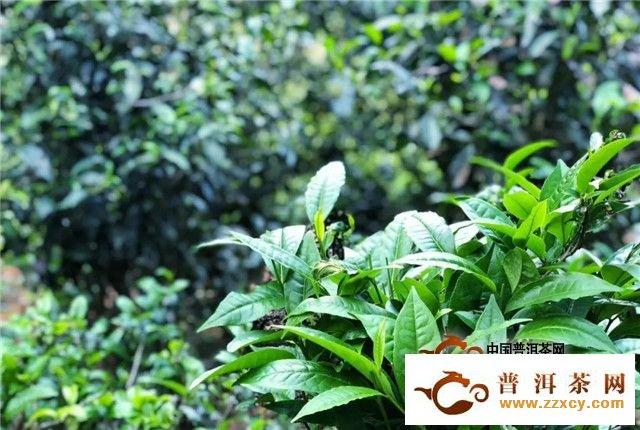 东卓茶业之两大原料基地解读:麻黑&南列