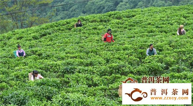 广西隆林:万亩茶园助脱贫