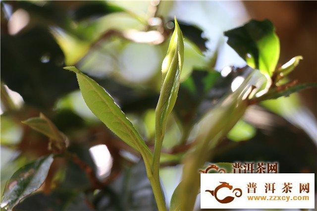 泰顺力争三年内将茶产业综合产值翻倍